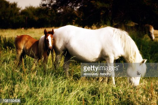 Camargue Horses: A Mare and Foal
