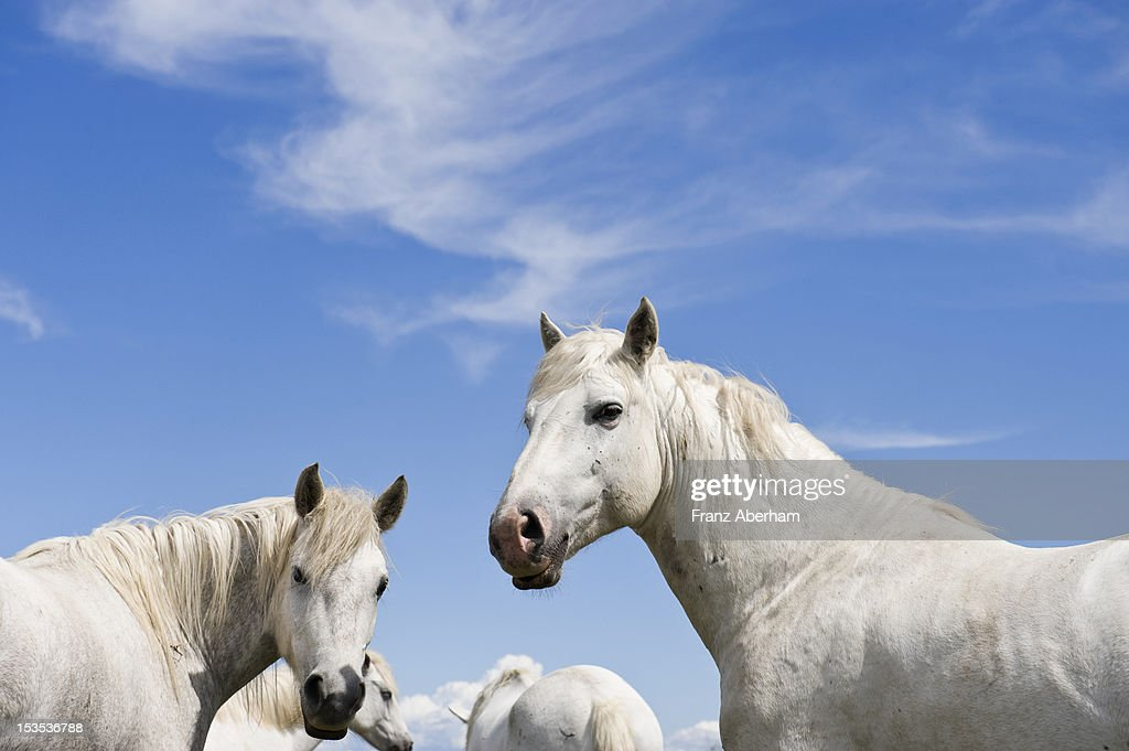 Camargue horses : Stock Photo