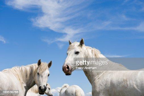 Camargue horses : Stock Photo