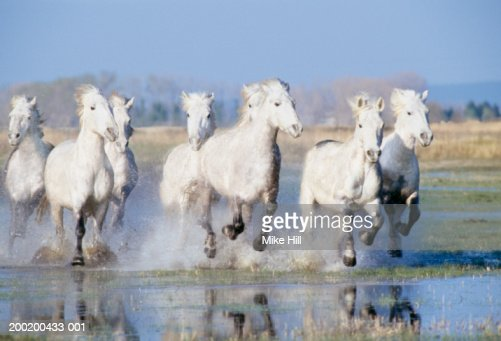 Camargue horses running in field