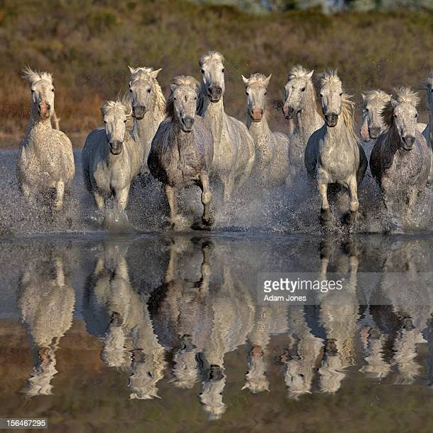 Camargue horses running thru marsh