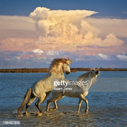 Camargue stallions fighting in marsh