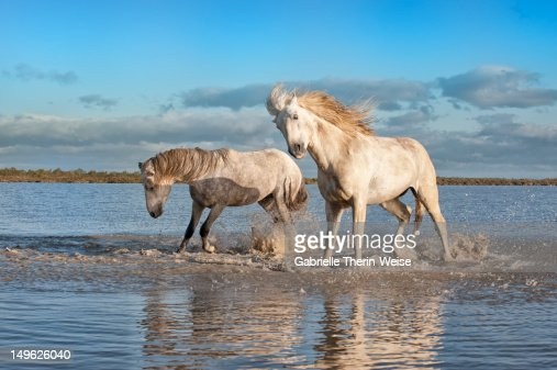 Camargue stallions in the water : Stock Photo