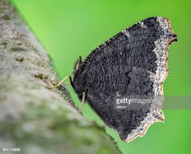 Camberwell Beauty butterfly