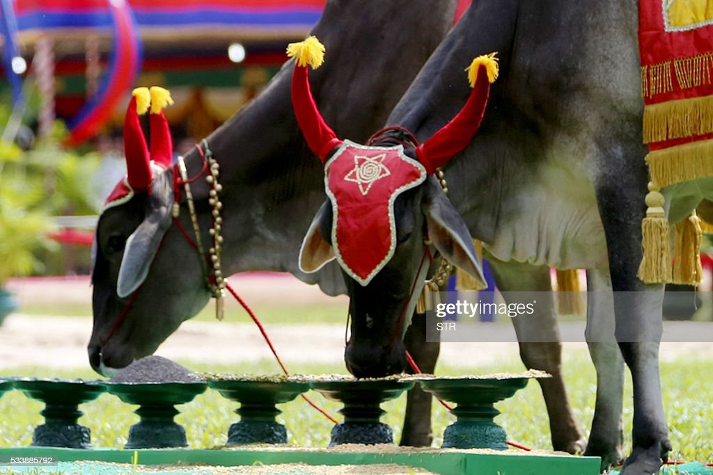 Cambodian royal cows eat corns during the annual royal plowing ceremony at Angkor complex in Siem Reap province on May 24, 2016. Despite Cambodia hit by the worst drought in half a century, royal oxen on Tuesday predicted during an ancient ritual that the kingdom will see 'bountiful' agricultural harvest this year. / AFP / STR