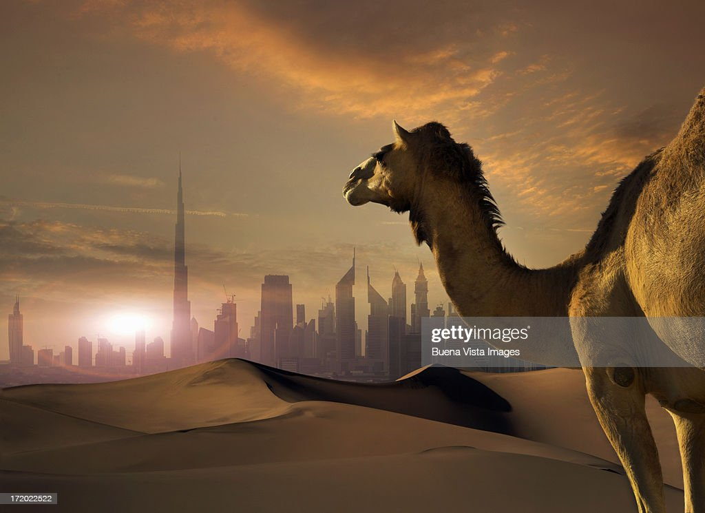 Camel and futuristic city in a desert