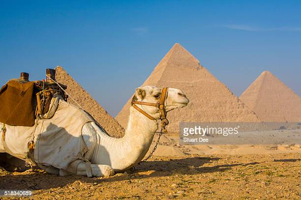 Camel and Great Pyramids, Egypt