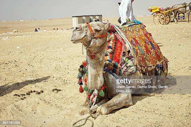 Camel at Giza