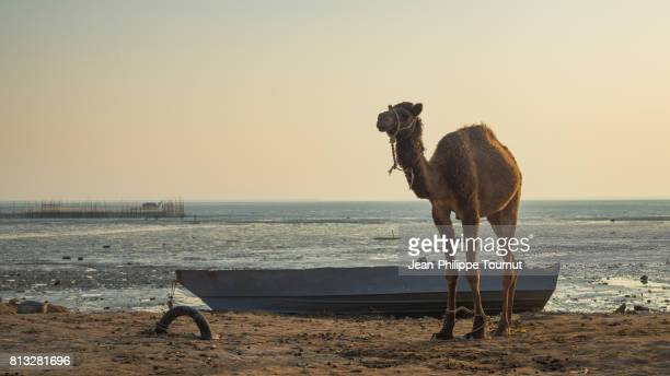 Camel by the sea at dusk, Laft, Qeshm Island, Persian Gulf, Hormozgan Province, Southern Iran
