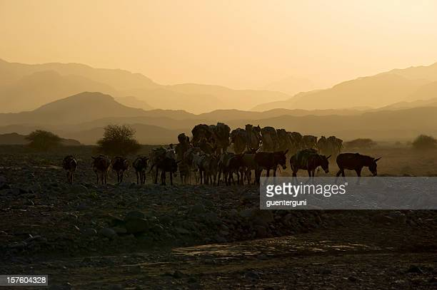 Camel caravan against the sunset, Danakil Desert, Ethiopia
