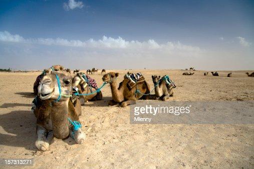 Camel Caravan Sahara Desert
