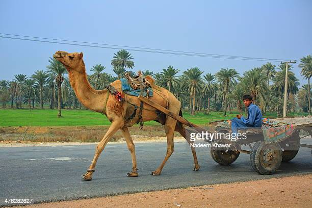 CONTENT] Camel cart at Sindh Pakistan still in use for transportation a rider sitting on it with pride