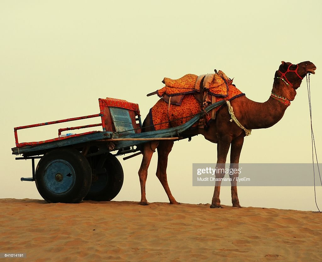 camel cart stock photos and pictures getty images