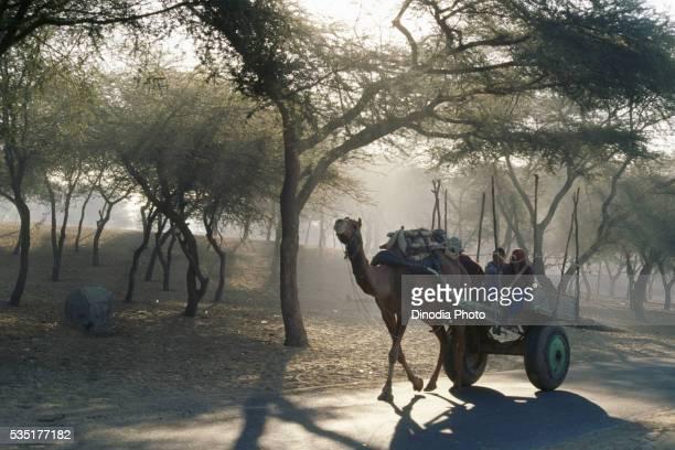 Camel cart in Fatehpur, Shekhawati, Sikar, Rajasthan, India.