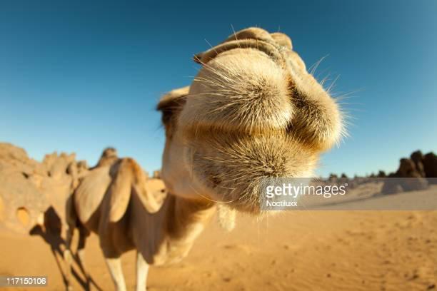 Camel close-up in Libyan Sahara desert