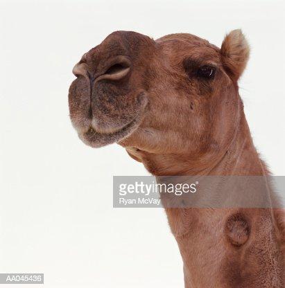 Camel (Camelus dromedarius), close-up : Stock Photo