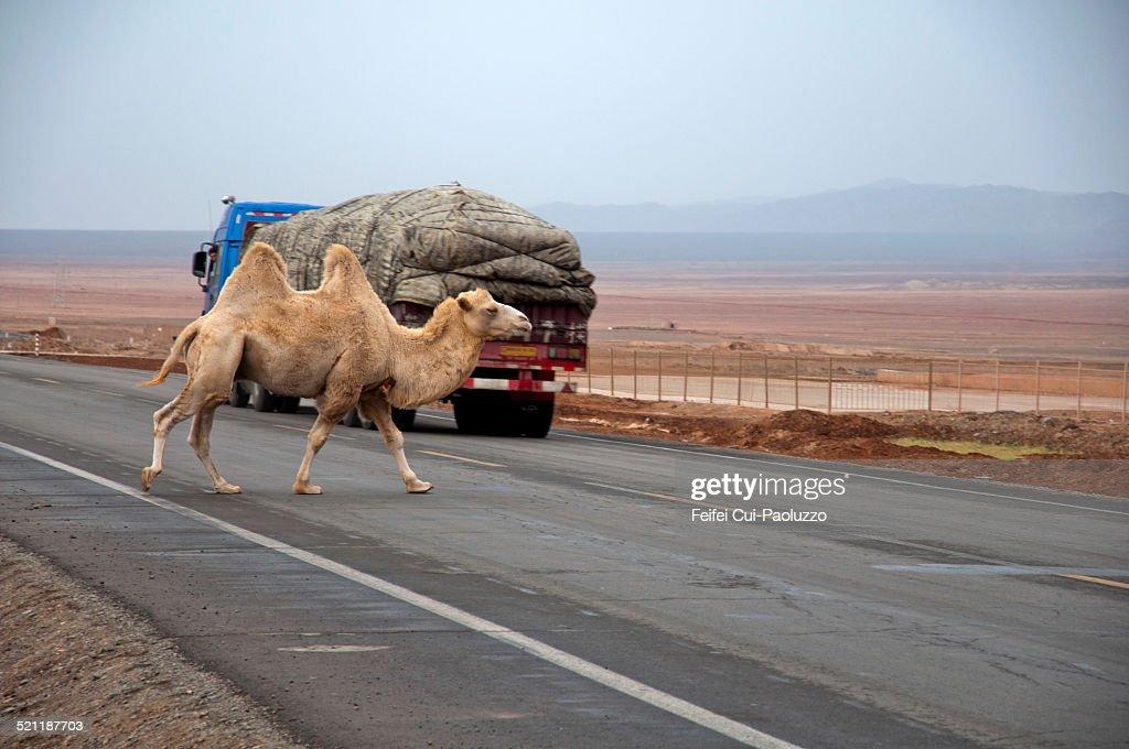 A camel crossing the silk rod near Turpan, Xinjiang province, China
