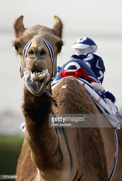 A camel foams at the mouth as he is whipped by a robot jockey during a race at Nad alSheba on December 6 2006 in Dubai United Arab Emirates This is...