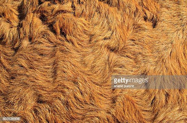 Camel fur close-up, Pushkar Camel Fair, Rajasthan, India