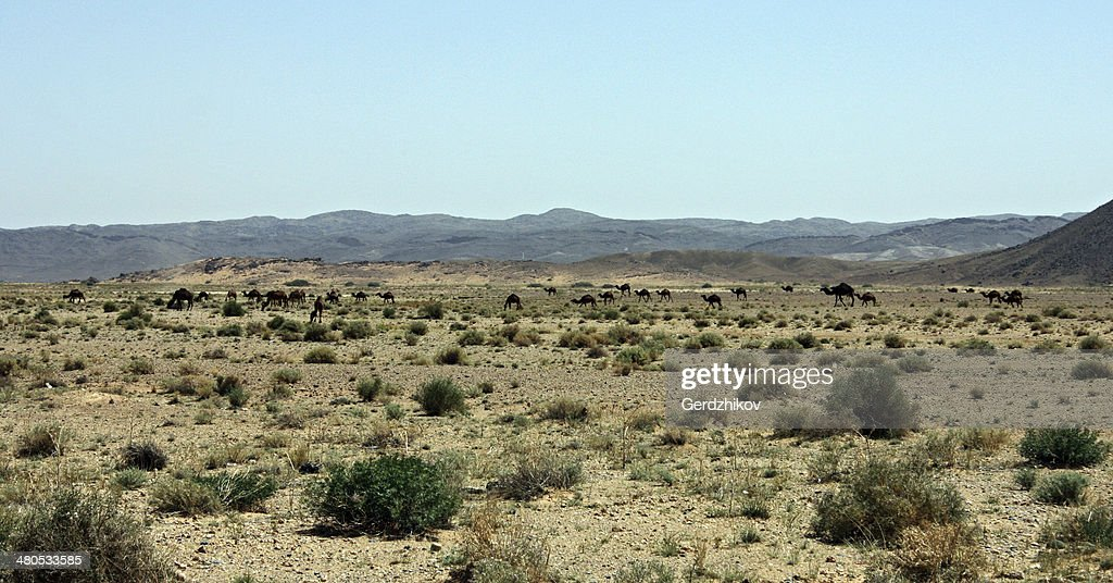 Camel grazing : Stock Photo