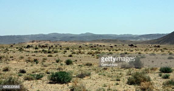 キャメルの牧草地 : ストックフォト