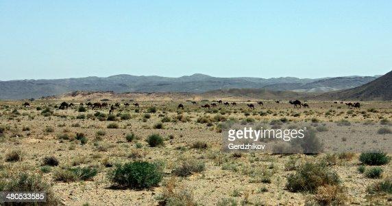 Camel grazing : Stockfoto