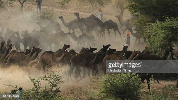 Camel herd pass a sunny stretch as camel buyers and sellers begin to arrive prior to the Pushkar fair at Pushkar on October 28 2014 in Ajmer India...