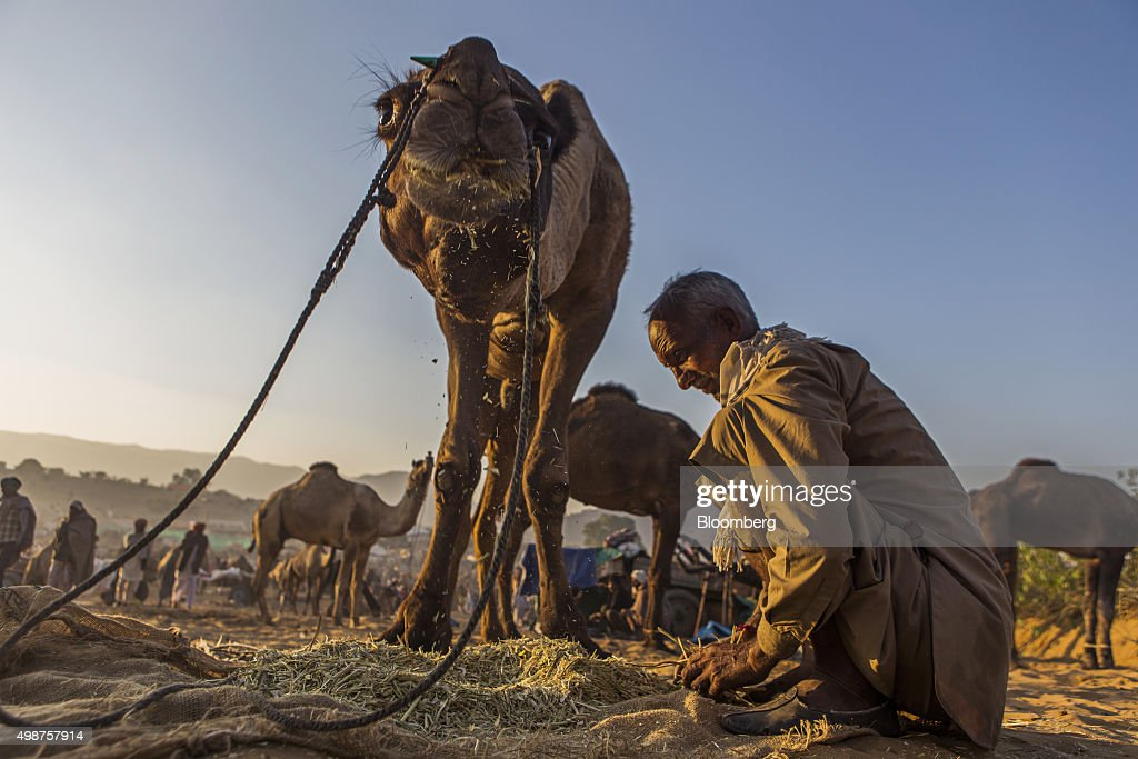A camel herd sits beside a camel feeding at the fairgrounds of the Pushkar Camel Fair in Pushkar, Rajasthan, India, on Friday, Nov. 20, 2015. Throw together hundreds of thousands of rural Indians, colorful festivals and throngs of tourists and you get the annual Pushkar Fair. Photographer: Prashanth Vishwanathan/Bloomberg via Getty Images