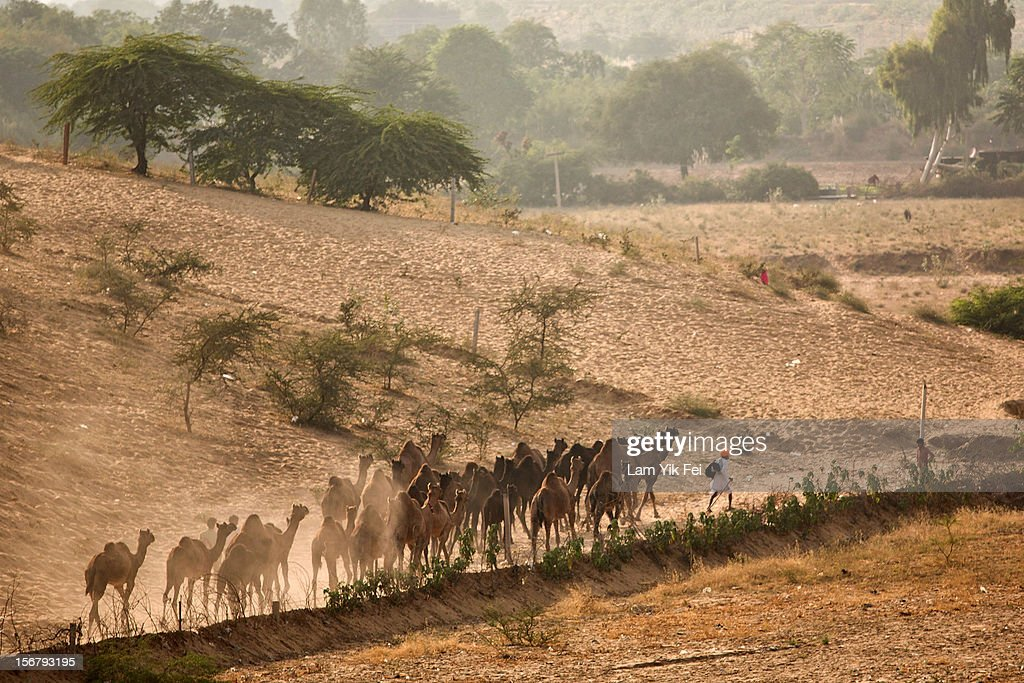 A camel herder arrives with his camels for the Pushkar camel fair on November 21, 2012 in Pushkar, India. The annual camel and livestock fair is held over five days, and attracts thousands of tourists.