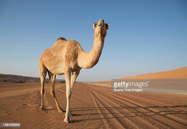 A Camel (Camelus Dromedarius) in a desert