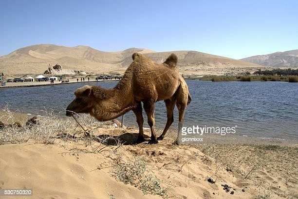 Camel in Badain Jaran desert, Inner Mongolia