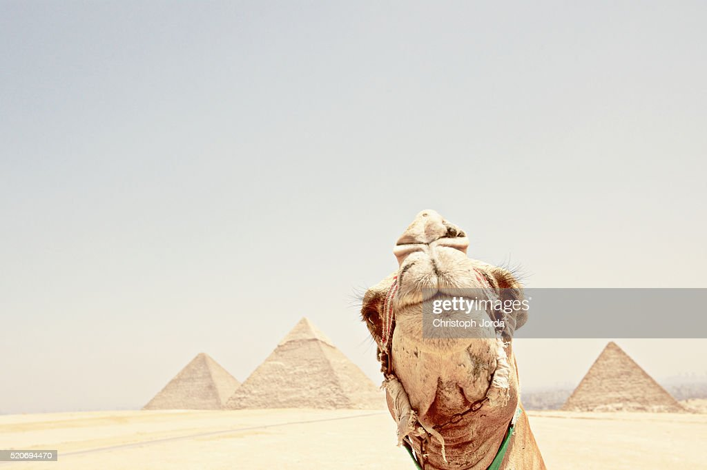 Camel in front of the Pyramids of Giza, Egypt