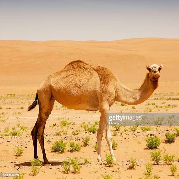 キャメルの砂漠