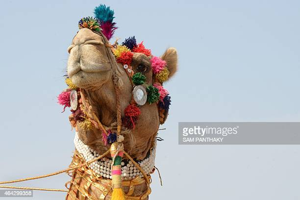 A camel is pictured as Indian members from the Border Security Force 's Barmer Camel Training School wait to perform during the launch of the Indian...