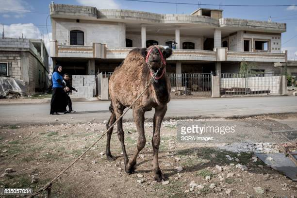 A camel is pictured while a mother with her son walks behind through the Al Marj Refugee Settlement