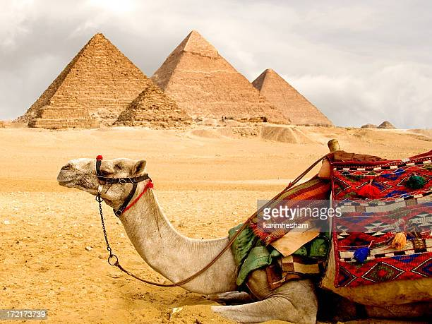 A camel laying down with pyramids in the background