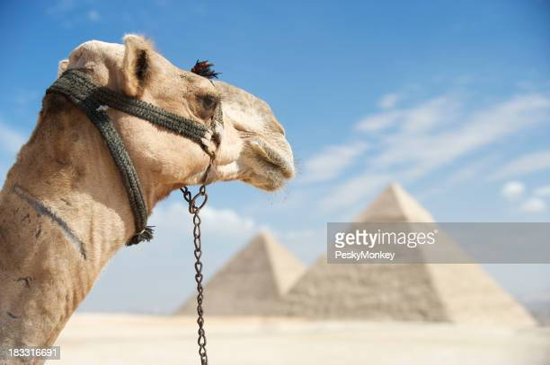 Camel Looks Out Over Great Pyramids Egypt