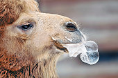 Camel making bubbles