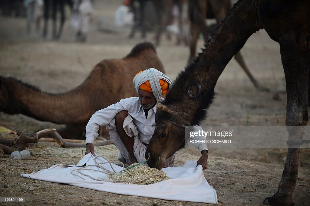 A camel owner lays feed for his animal at the camel fair grounds in the outskirts of the small town of Pushkar on November 21, 2012. Thousands of livestock traders from the region come to the traditional camel fair where livestock but mainly camels are traded. This annual five-day camel and livestock fair is one of the world's largest camel fairs. AFP PHOTO/Roberto Schmidt