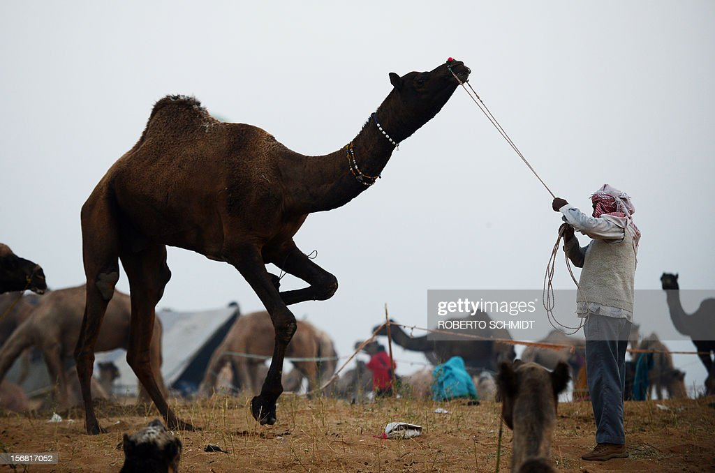 A camel owner tries to keep his camel under control at the camel fair grounds in the outskirts of the small town of Pushkar on November 22, 2012. Thousands of livestock traders from the region come to the traditional camel fair where livestock but mainly camels are traded. The annual five-day camel and livestock fair is one of the world's largest camel fairs. AFP PHOTO/Roberto Schmidt