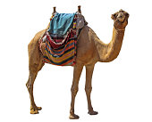 Camel attraction for tourists in Eilat,Israel