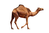 Camel on the white background