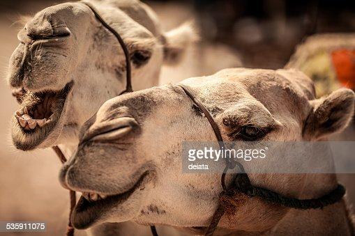 Camelo : Foto de stock