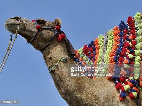 Camel ride : Stock Photo