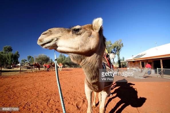 Camel Riding at Ayer's Rock in Uluru National Park Australia