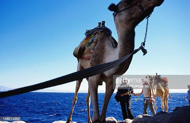 Camel safari, Red Sea.