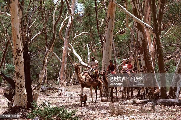 Camel safari returning to Ross River tourist facility Alice Springs Northern Territory Australia