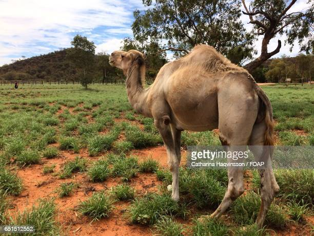 camel standing in australia forest