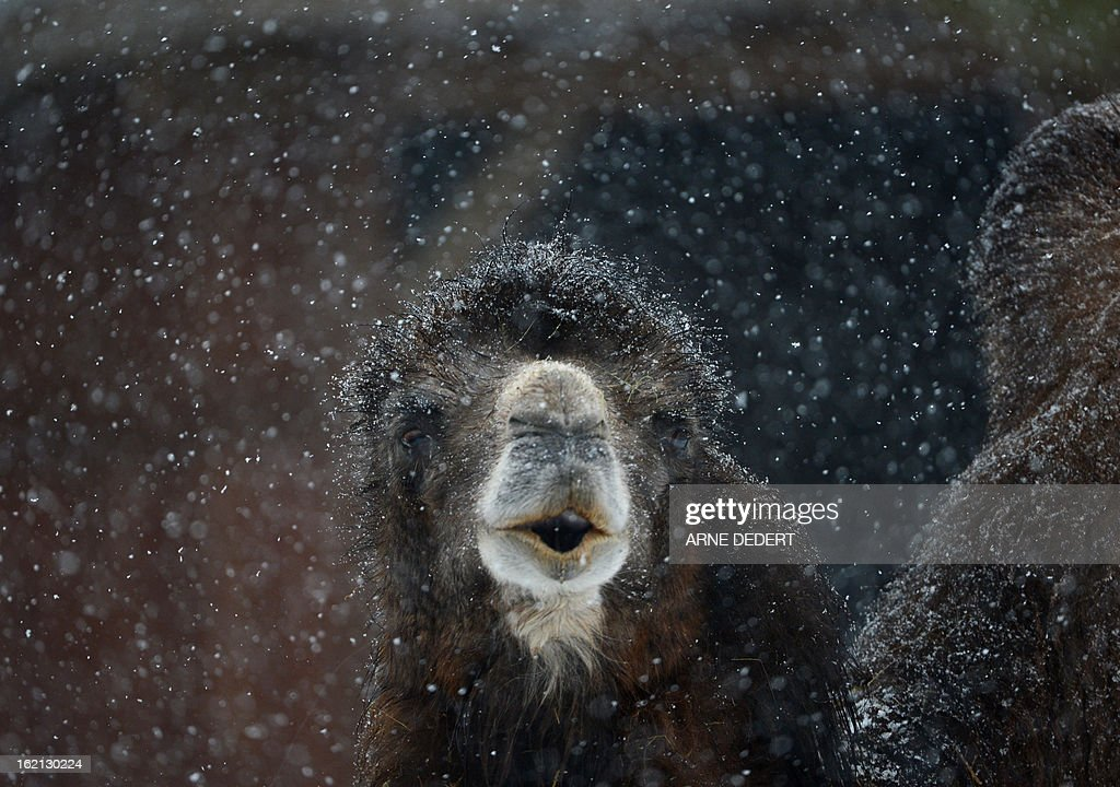 A camel stands in the snow on February 19, 2013 at the zoo in Frankfurt am Main, western Germany. AFP PHOTO / ARNE DEDERT GERMANY OUT