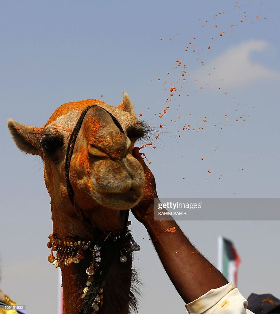 A camel that won a beauty contest is covered with saffron during the Sheikh Sultan Bin Zayed al-Nahyan heritage festival, held at the Sweihan racecourse in Al-Ain on February 9, 2016. / AFP / KARIM SAHIB